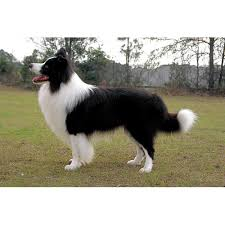 american eskimo dog black border collie dog breeds dog com