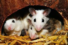 Are Mice Blind One Mouse Or Two Petcha