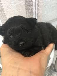 pomeranian x bichon frise sale pomeranian x bichon puppy in iver buckinghamshire gumtree