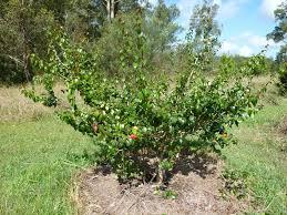 native plants in brazil brazilian cherry eugenia uniflora is an evergreen fruit tree