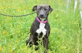 australian shepherd queensland heeler mix pictures view ad australian cattle dog greyhound mix dog for adoption