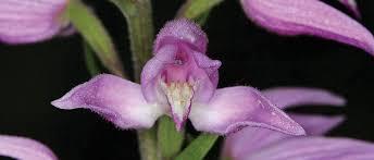 Flower Of Orchid - peten travels turkey an adventure of orchids u0026 wild flowers