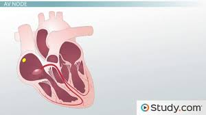 Physiology Videos Cardiovascular System Videos U0026 Lessons Study Com