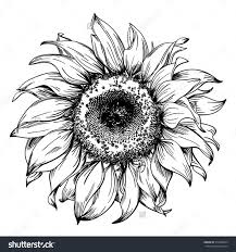 drawn sunflower pencil and in color drawn sunflower