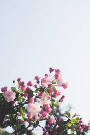 cherry blossom tree pictures free images on unsplash