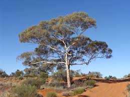 native australian desert plants eucalyptus gongylocarpa desert gum south of voakes hill in the