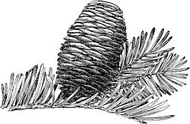 grand fir tree cone clipart etc