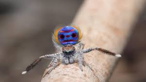 peacock spiders five new species discovered in western australia