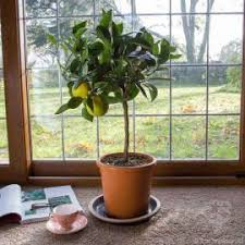 potted trees for sale potted tree gifts for the garden