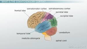 Anatomy And Physiology Of The Brain Somatosensory Cortex Definition Location U0026 Function Video