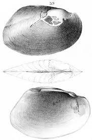musselp database pseudodon vondembuschianus