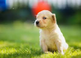 Cute Dogs Wallpapers by Cute Dog Wallpapers For Desktop U2013 Hd Wallpapers Images Pictures