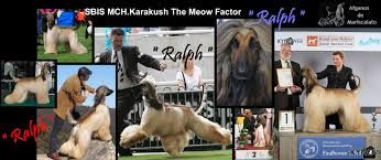 afghan hound kennel in australia euphoria mariscalato s afghans