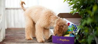 goldendoodle puppy treats 2 month puppy 2 month puppy guide pupbox
