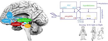 Part Of The Brain Stem That Is Involved In Arousal Freeze For Action Neurobiological Mechanisms In Animal And Human
