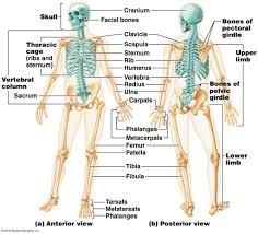 Anatomy And Physiology Skeletal System Test Skeletal System Morland Strength