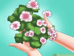 The Geranium On The Windowsill Just Died How To Grow Geraniums 12 Steps With Pictures Wikihow