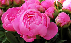 Peony Flowers by Peony Bud Free Pictures On Pixabay