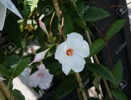 White Trumpet Flower - mandevilla x amabilis rita marie green a woody vine with dark