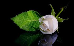 lovely white wallpaper lovely white rose hd photo pictures with most beautiful