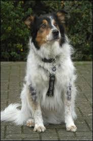 australian shepherd x border collie puppies new zealand huntaway harry new zealand huntaway x border