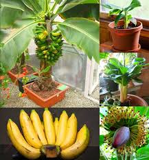 Online Fruit Trees For Sale - seeds banana online wholesale banana seeds for sale