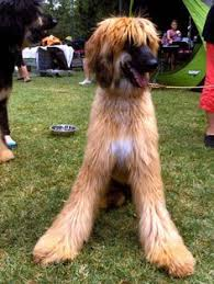 afghan hound breeders europe work it afghan hound domesticated canines pinterest afghan