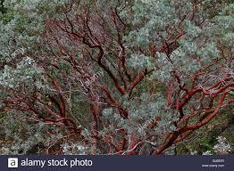 manzanita trees bark of the evergreen manzanita tree in yosemite national park