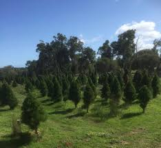 tom u0027s real pine christmas trees home facebook