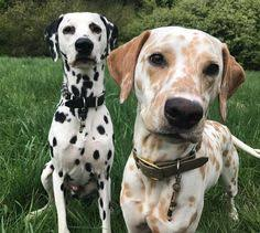pin hap dogs puppies dalmatian dog