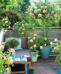 patio gardening for beginners small rose garden growing roses in
