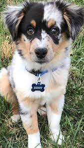 australian shepherd breeders near me australian shepherd smart working dog australian shepherd