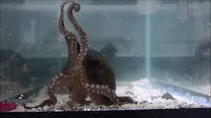 Seeking Octopus Octopus Genome Sequenced