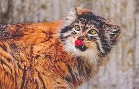 secrets of the world u0027s 38 species of wild cats u2013 national