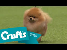 affenpinscher crufts 2016 maltese wins toy group judging crufts 2015 youtube