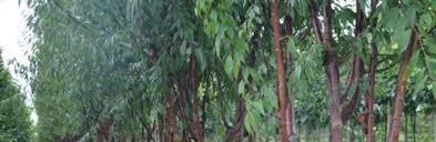 kolffplants co uk ornamental trees kolffplants co uk