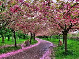 apple tree bloom wallpapers flowery tag wallpapers spring flowery apple tree bloom pink