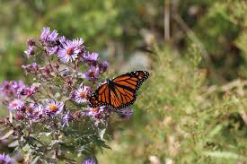 Butterfly Flower Free Photo Monarch Butterfly Insect Bug Monarch Butterfly Max Pixel