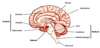 What Is The Main Function Of The Medulla Oblongata The Brain A Primer