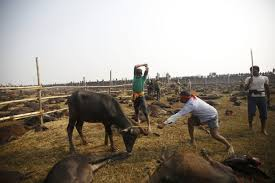 stunning photos of the world u0027s largest animal sacrifice business