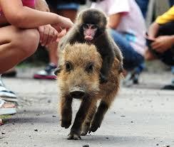 Baby Monkey Meme - baby monkey riding on a pig meme