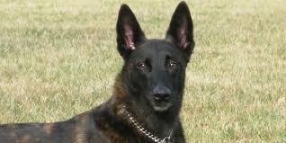 belgian sheepdog lifespan dutch shepherd dog information characteristics facts names