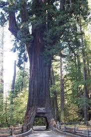 Chandelier Tree California 30 Best Chandelier Tree Images On Pinterest Chandelier Tree