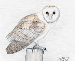 owl drawing by terry sohl