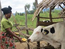 heifer international heifer international in africa lessons tes teach