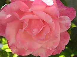 How Much Is A Dozen Roses Roses Planting Growing And Pruning Roses The Old Farmer U0027s Almanac