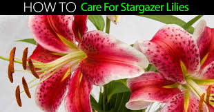 stargazer lilies stargazer how to care for stargazer lilies