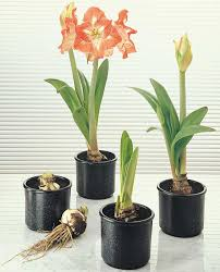 amaryllis care and re blooming garden barn