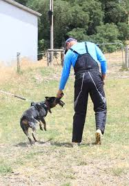 belgian shepherd kempsey willowpark australian cattle dogs