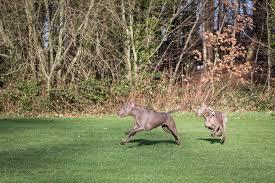 weimaraner vs afghan hound weimaraner dogs breed information omlet